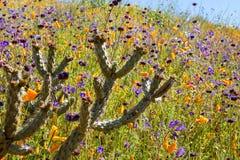 在鸦片和紫色野花的领域的美丽的仙人掌在步行者峡谷加利福尼亚 图库摄影