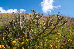 在鸦片和紫色野花的领域的美丽的仙人掌在步行者峡谷加利福尼亚 库存照片
