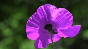 在鸦片的对比颜色 在绿色背景的淡紫色鸦片 鸦片的容易的运动在草甸 一种罕见的颜色o 股票录像