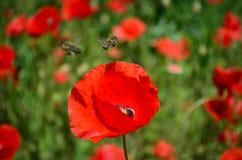 在鸦片的蜂 花 免版税图库摄影