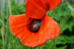 在鸦片花的蜗牛 库存照片