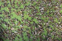 在鸭子杂草的叶子 库存图片