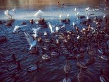 在鸭子池塘哺养的疯狂的混乱 库存照片