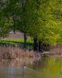 在鸭子池塘的春天 库存照片