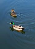 在鸭子的两只鸭子在水中筑成池塘 库存图片