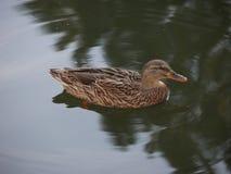 在鸭子的焦点在水中 免版税库存图片