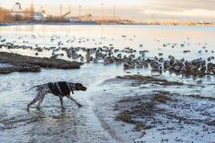 在鸭子的狗狩猎 免版税库存照片