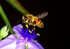 在鸭跖草的蜂蜜蜂 免版税库存照片