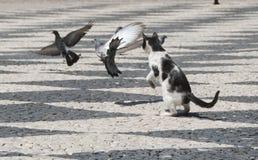 在鸽子中的一只猫 免版税库存照片
