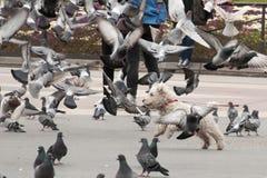 在鸽子中的狗 免版税库存图片