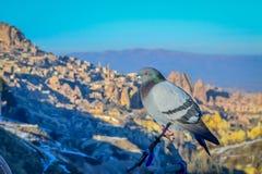 在鸽子谷风景的孤独的鸽子, Capadoccia,土耳其 库存照片