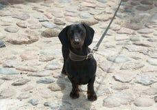 在鹅卵石街道上的达克斯猎犬 免版税库存照片
