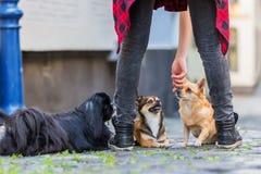 在鹅卵石路的三条逗人喜爱的小狗 库存图片