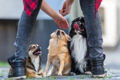 在鹅卵石路的三条逗人喜爱的小狗 库存照片
