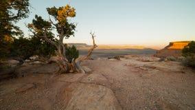 在鹅莓Mesa外缘的扭转的杜松树在南犹他当清早光开始接触天际 免版税库存照片