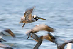 在鹈鹕的海滩棕色飞行佛罗里达 免版税库存图片
