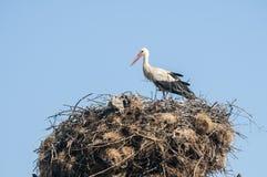 在鹳巢的鹳 库存照片
