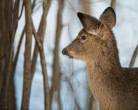在鹿夜间房子例证新的s之后小的结构树冬天年 免版税库存图片