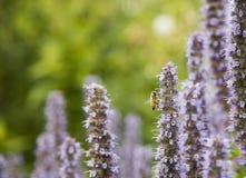 在鹿舌草的蜜蜂 免版税库存照片