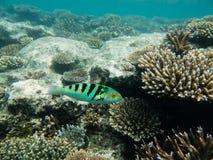 在鹿角珊瑚属珊瑚头的隆头鱼科类rueppellii 库存图片