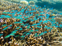 在鹿角珊瑚属珊瑚头的绿色Chromis 库存照片