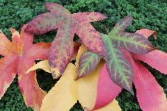 在麝香草的秋天品种 免版税图库摄影