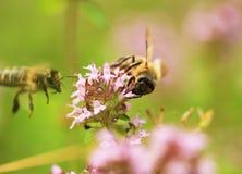 在麝香草的蜂 免版税图库摄影