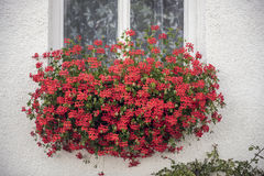 在麝香葡萄后红色开花掩藏的白色墙壁上的白色窗口  库存图片