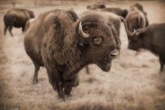 在麦克斯韦野生生物保护区蜜饯的强有力的堪萨斯北美野牛牧群 库存照片