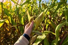 在麦地关闭的美好的早晨日出看法 举行看法的小姐新玉米关闭 库存图片