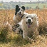 在麦地的博德牧羊犬 图库摄影