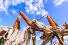 在麦地的干玉米 免版税库存照片