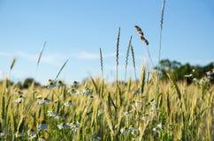 在麦地的母菊花 免版税库存图片