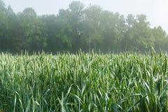 在麦地的生长茎 免版税库存图片
