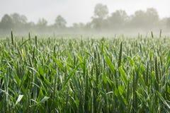 在麦地的生长茎 库存图片