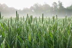 在麦地的生长茎 免版税图库摄影