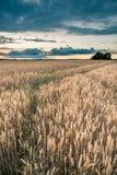在麦地的暴风云在晚上 图库摄影