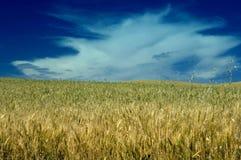 在麦子之下的多云域天空 免版税库存图片