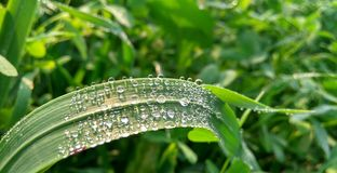 在麦子叶子的雨下落 库存图片