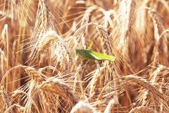 在麦子的一只蚂蚱 库存图片