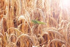 在麦子的一只蚂蚱 免版税图库摄影