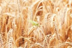 在麦子的一只蚂蚱 图库摄影
