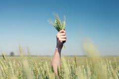 在麦子的手 免版税库存照片