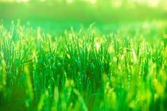 在麦子的早晨太阳 库存图片
