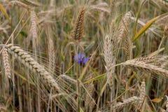 在麦子的耳朵的中蓝色花 免版税库存图片