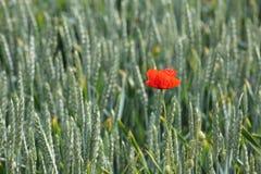 在麦子的虞美人 免版税库存照片