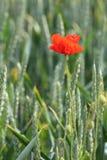 在麦子的虞美人 库存图片