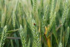 在麦子耳朵的瓢虫 免版税图库摄影