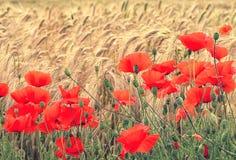 在麦子耳朵背景的红色鸦片在日出的 图库摄影