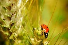 在麦子茎的瓢虫 库存照片